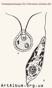 Clipart chlamydomonas and euglena viridis