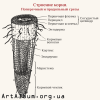 Clipart root structure in russian